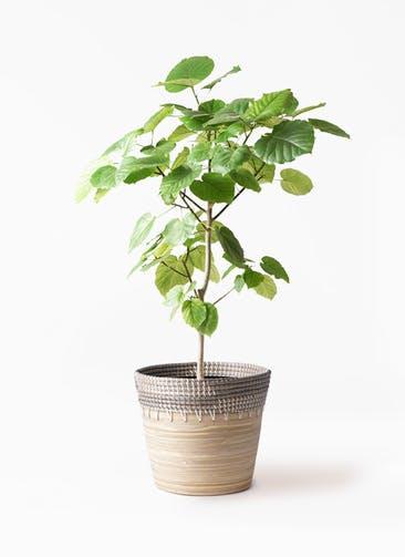 観葉植物 フィカス ウンベラータ 8号 ノーマル アルマ コニック 白 付き