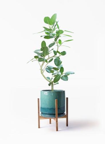 観葉植物 フィカス ベンガレンシス 8号 曲り ビトロ エンデガ ターコイズ ウッドポットスタンド付き