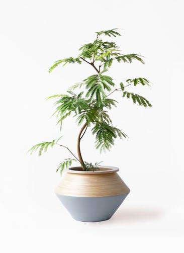 観葉植物 エバーフレッシュ 8号 曲り アルマジャー グレー 付き