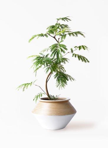 観葉植物 エバーフレッシュ 8号 曲り アルマジャー 白 付き