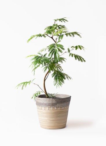 観葉植物 エバーフレッシュ 8号 曲り アルマ コニック 白 付き