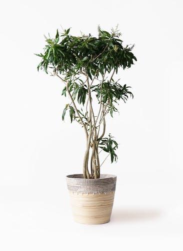 観葉植物 ドラセナ ソング オブ ジャマイカ 10号 アルマ コニック 白 付き