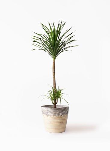観葉植物 ドラセナ カンボジアーナ 10号 アルマ コニック 白 付き