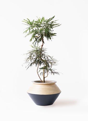 観葉植物 グリーンアラレア 8号 曲り アルマジャー 黒 付き