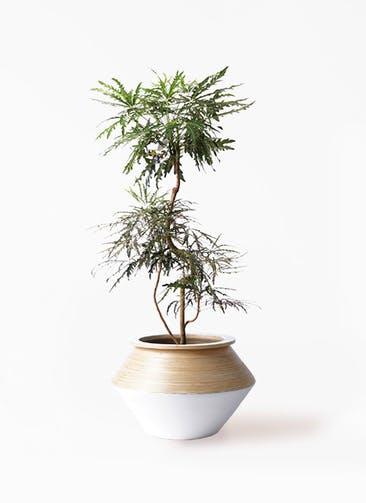 観葉植物 グリーンアラレア 8号 曲り アルマジャー 白 付き