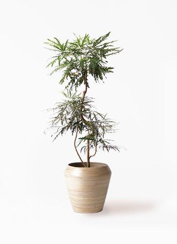 観葉植物 グリーンアラレア 8号 曲り アルマ ミドル 付き