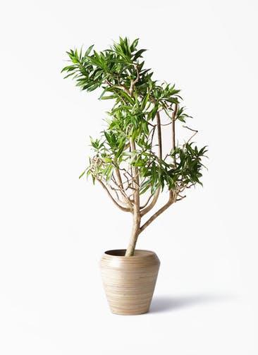 観葉植物 ドラセナ ソング オブ ジャマイカ 8号 アルマ ミドル 付き