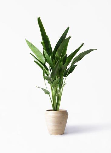 観葉植物 旅人の木 10号 アルマ ミドル 付き