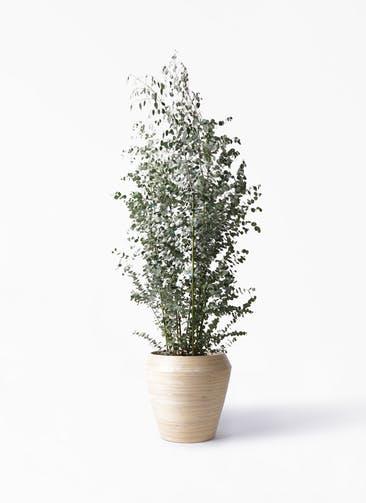 観葉植物 ユーカリ 10号 グニー アルマ ミドル 付き