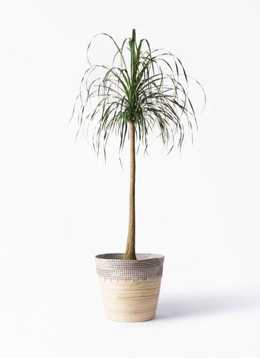 観葉植物 トックリラン ポニーテール 10号 アルマ コニック 白 付き
