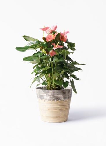 観葉植物 アンスリウム 10号 ピンクチャンピオン アルマ コニック 白 付き