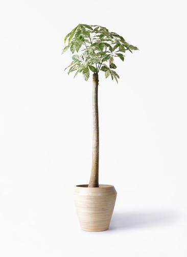 観葉植物 パキラ 10号 朴 斑入り アルマ ミドル 付き