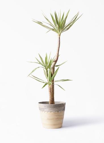 観葉植物 ユッカ 10号 斑入り アルマ コニック 白 付き