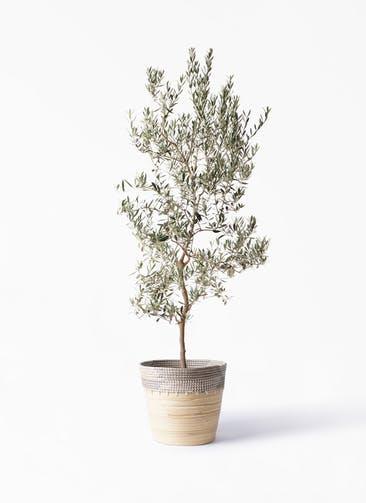 観葉植物 オリーブの木 10号 バロウニ アルマ コニック 白 付き