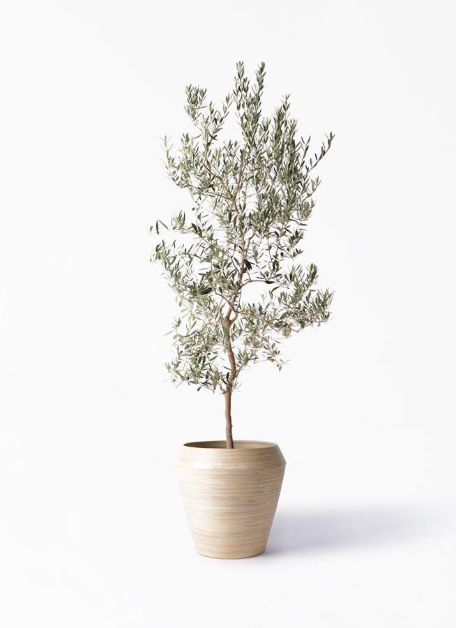 観葉植物 オリーブの木 10号 バロウニ アルマ ミドル 付き