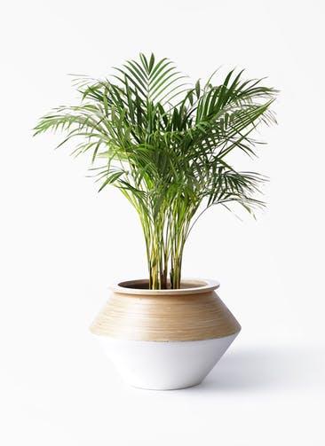 観葉植物 アレカヤシ 8号 アルマジャー 白 付き