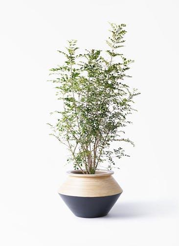 観葉植物 シマトネリコ 8号 アルマジャー 黒 付き