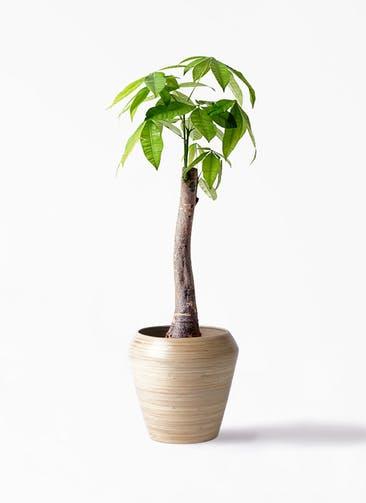 観葉植物 パキラ 8号 朴 アルマ ミドル 付き