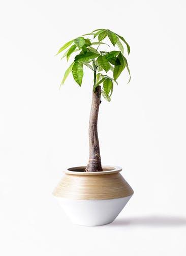 観葉植物 パキラ 8号 朴 アルマジャー 白 付き