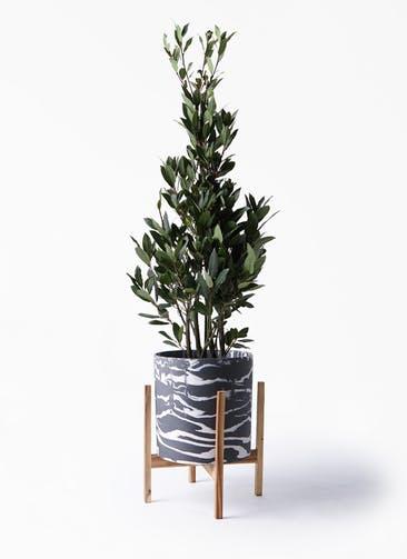 観葉植物 月桂樹 8号 ホルスト シリンダー マーブル ウッドポットスタンド付き