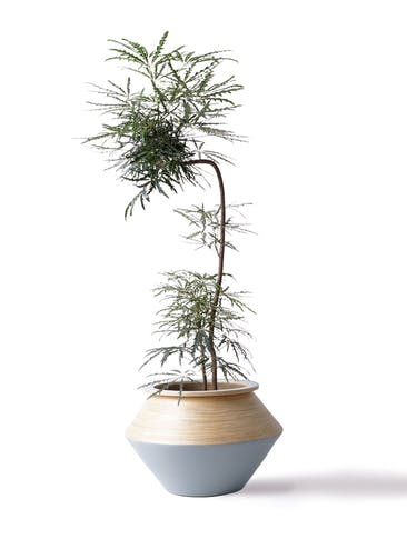 観葉植物 グリーンアラレア 8号 曲り(L字) アルマジャー グレー 付き