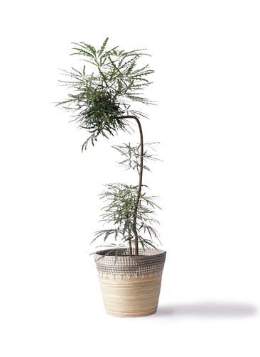 観葉植物 グリーンアラレア 8号 曲り(L字) アルマ コニック 白 付き