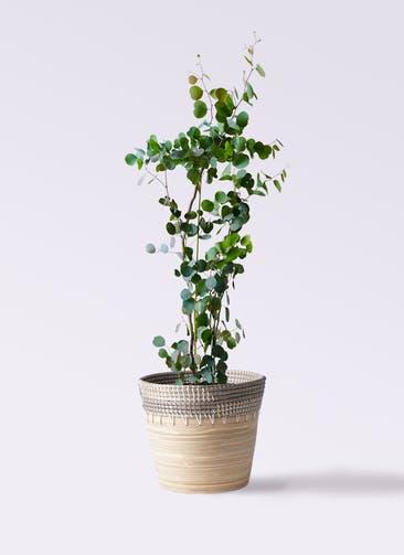 観葉植物 ユーカリ 8号 ポリアンセモス アルマ コニック 白 付き