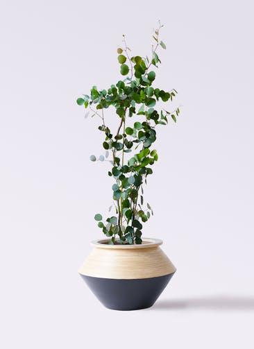 観葉植物 ユーカリ 8号 ポリアンセモス アルマジャー 黒 付き