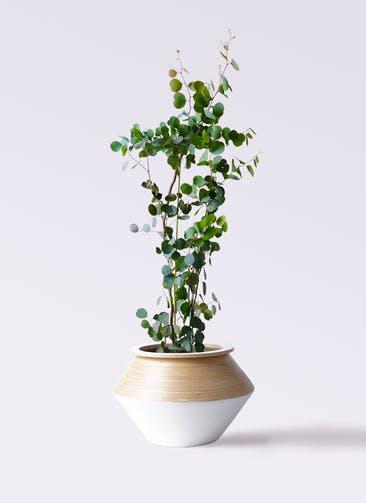 観葉植物 ユーカリ 8号 ポリアンセモス アルマジャー 白 付き