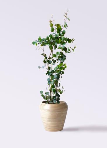 観葉植物 ユーカリ 8号 ポリアンセモス アルマ ミドル 付き