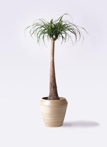 観葉植物 トックリラン ポニーテール 8号 アルマ ミドル 付き