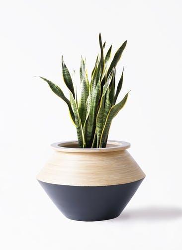 観葉植物 サンスベリア 8号 トラノオ アルマジャー 黒 付き