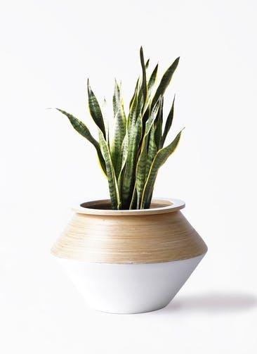 観葉植物 サンスベリア 8号 トラノオ アルマジャー 白 付き