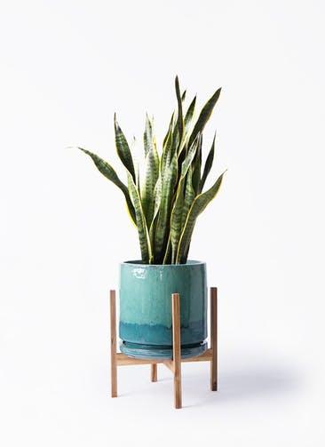 観葉植物 サンスベリア 8号 トラノオ ビトロ エンデガ ターコイズ ウッドポットスタンド付き