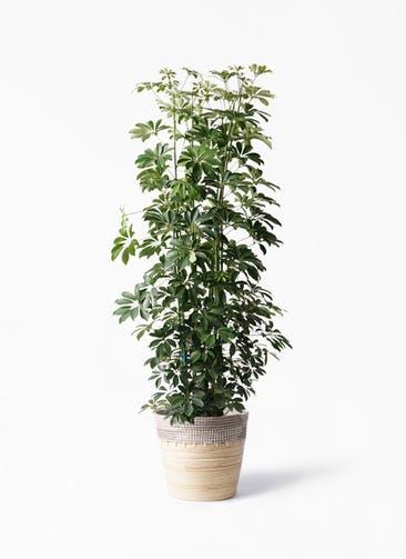 観葉植物 カポック(シェフレラ) 10号 ノーマル アルマ コニック 白 付き