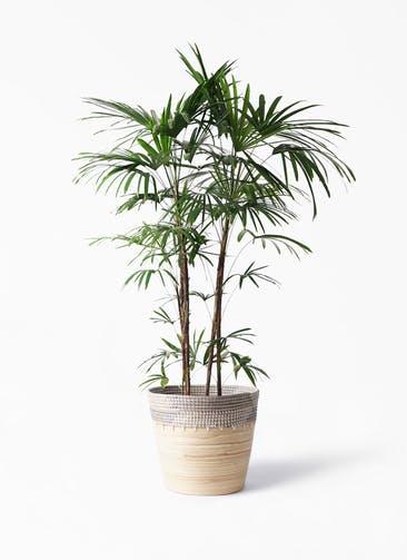 観葉植物 シュロチク(棕櫚竹) 10号 アルマ コニック 白 付き