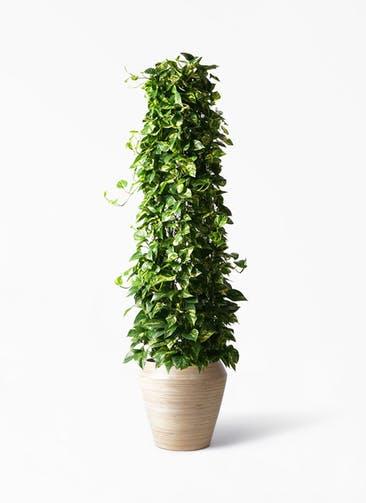 観葉植物 ポトス 10号 アルマ ミドル 付き
