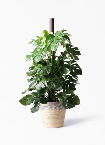 観葉植物 モンステラ 10号 木柱 アルマ コニック 白 付き