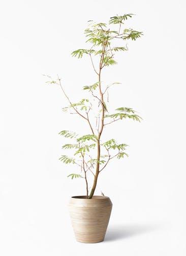 観葉植物 エバーフレッシュ 10号 ボサ造り アルマ ミドル 付き