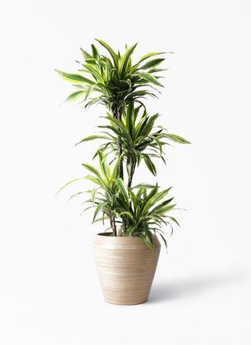 観葉植物 ドラセナ ワーネッキー レモンライム 10号 アルマ ミドル 付き