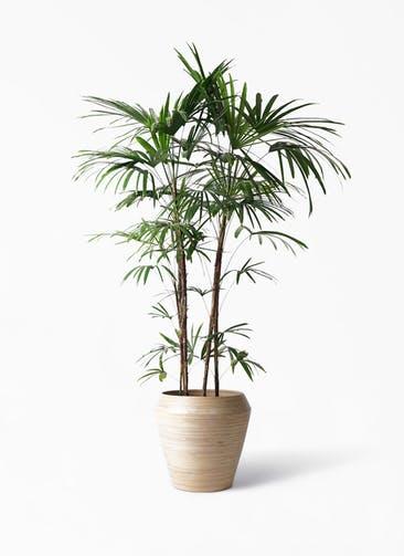観葉植物 シュロチク(棕櫚竹) 10号 アルマ ミドル 付き