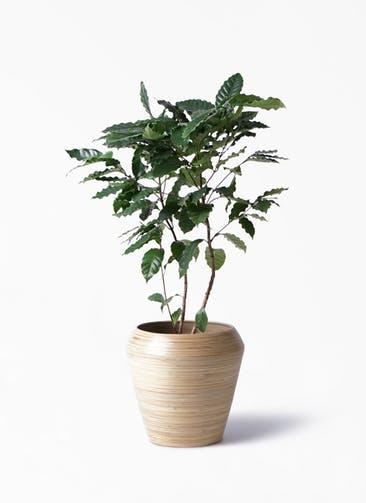 観葉植物 コーヒーの木 8号 アルマ ミドル 付き