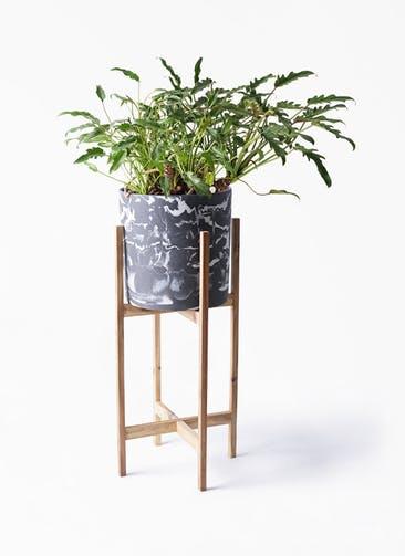 観葉植物 クッカバラ 6号 ホルスト シリンダー マーブル ウッドポットスタンド付き