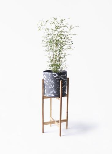 観葉植物 シマトネリコ 6号 ホルスト シリンダー マーブル ウッドポットスタンド付き
