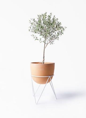 観葉植物 オリーブの木 6号 創樹 インティ ラウンド アイアンポットスタンド ホワイト付き