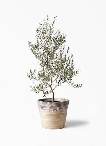 観葉植物 オリーブの木 8号 アルベキーナ アルマ コニック 白 付き