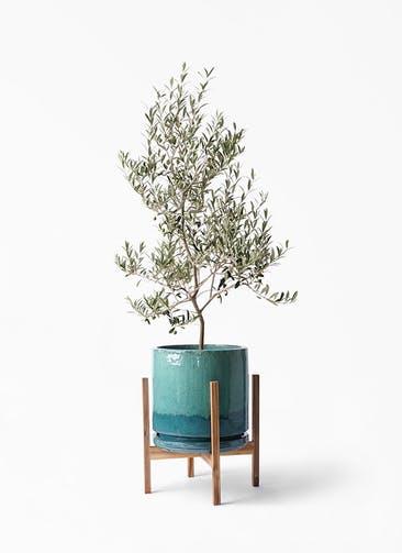 観葉植物 オリーブの木 8号 アルベキーナ ビトロ エンデガ ターコイズ ウッドポットスタンド付き