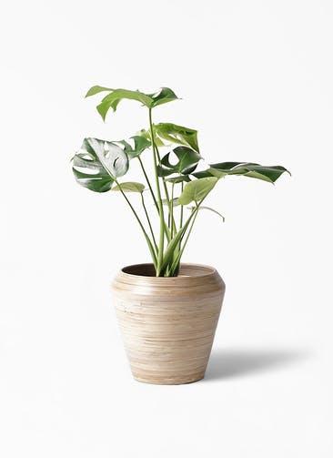 観葉植物 モンステラ 6号 ボサ造り アルマ ミドル 付き