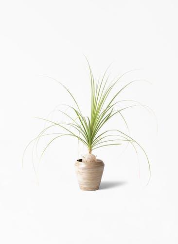 観葉植物 トックリラン 6号 アルマ ミドル 付き