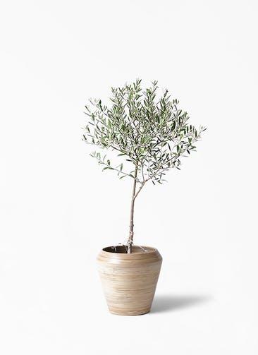 観葉植物 オリーブの木 6号 創樹 アルマ ミドル 付き